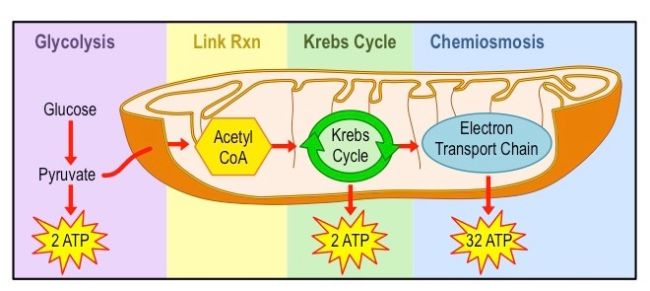 contoh respirasi aerob dan anaerob