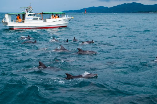 Dolphin watching, Amakusa