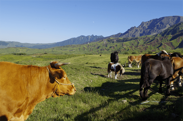 Cattle with Mt Aso