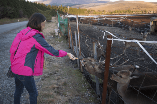 Feeding deer on the way back in Aso