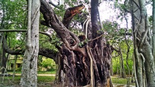 Damaged center trunk of the old Banyan Tree