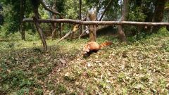 Shy Red Panda, P.C : Vihari