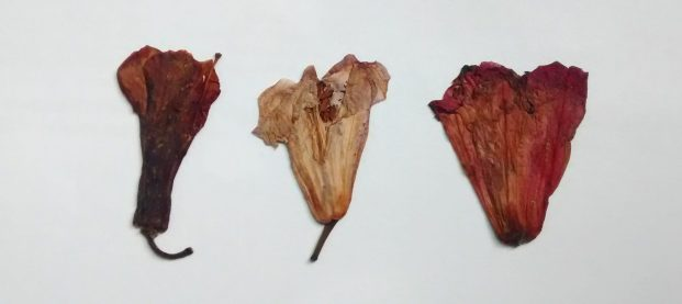Pressed Rhododendron flower, 1st one was by Sowmya