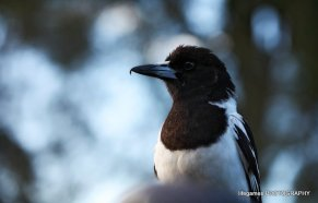 Coombahbah-Lakelands-Conservation-Area-Birds-035