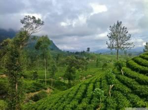 Чайная плантация Шри-Ланка