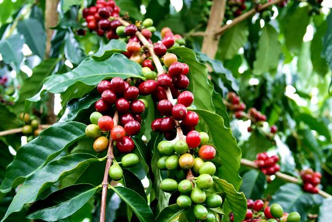 Виды и сорта кофе. Кофейное дерево.
