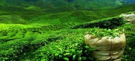 Чайные плантации Цейлона. Корт Лодж. Регион Нувара Элия.