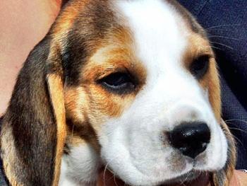 Golden Daylight Beagle Der Beagle 04