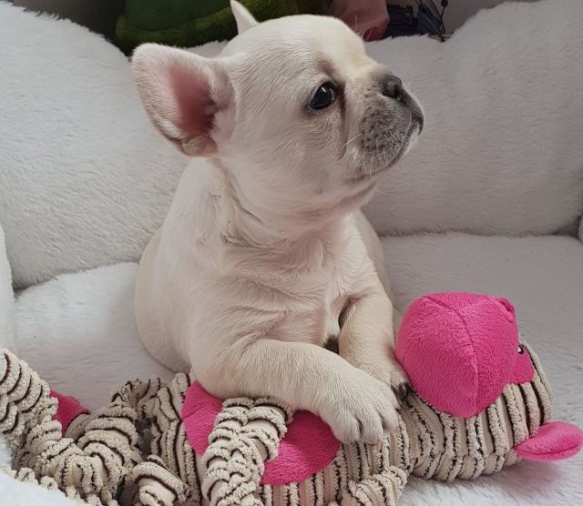 buy platinum cream french bulldogs pups