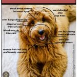 7 Creative Haircuts Styles For Goldendoodles With Pictures Goldendoodle Advice