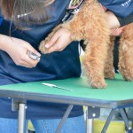 When Do Goldendoodle Puppies Need Their First Haircuts 5 Tips To A Better Grooming Experience Goldendoodle Advice