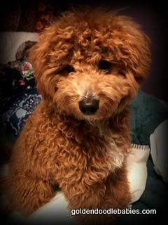 Antonias Goldendoodle Babies Testimonials 2018Thank You To All Our Families Who Have Sent