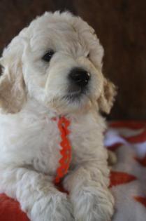 CocoBongo-F1-B-puppies-7-weeks-012