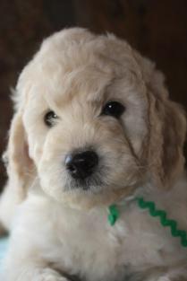 CocoBongo-F1-B-puppies-7-weeks-071