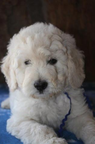 CocoBongo-F1-B-puppies-7-weeks-088