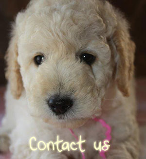 Contact GoldendoodlesZA