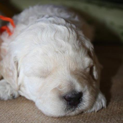 F1B-puppies-25-weeks-032