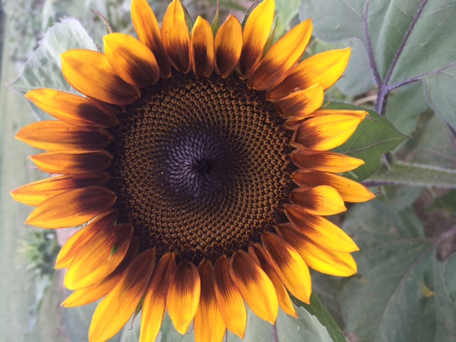 Sunflower first blooms 2018