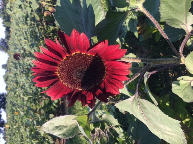 Sunflower red bloom 2018