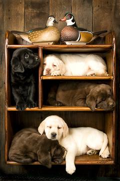 Cards Of Labrador Portraits Puppy Prints Dog Prints Dog