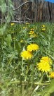 Yellow dandelions in yard with chair and fence