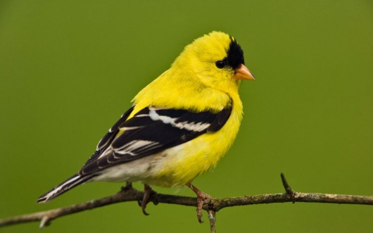 bird american goldfinch