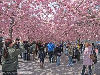 Japanese cherry blossom 2