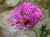 Monets trädgård - lila boll
