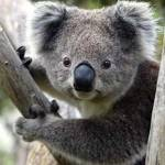 The Koala is one of the most popular and recognizable animals in Australia.