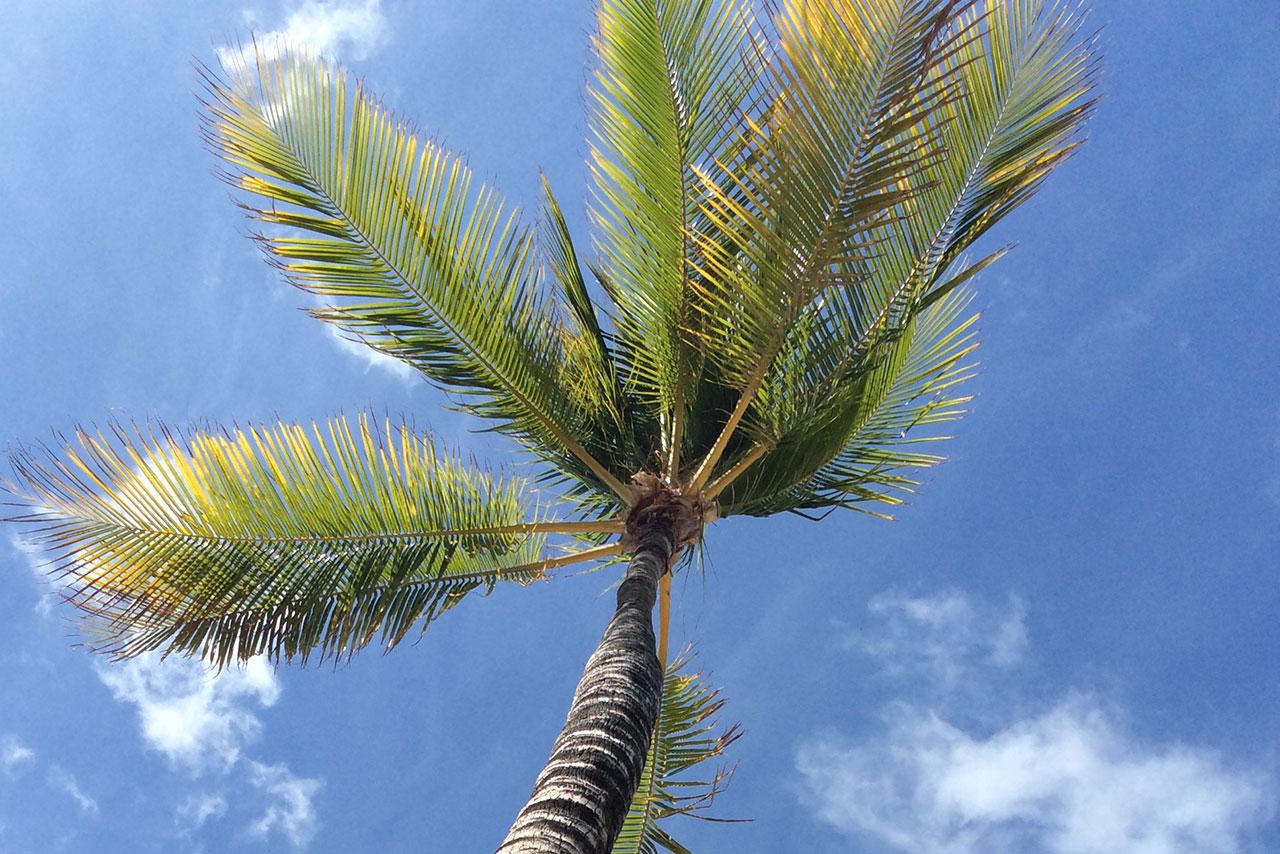 shaka palm tree