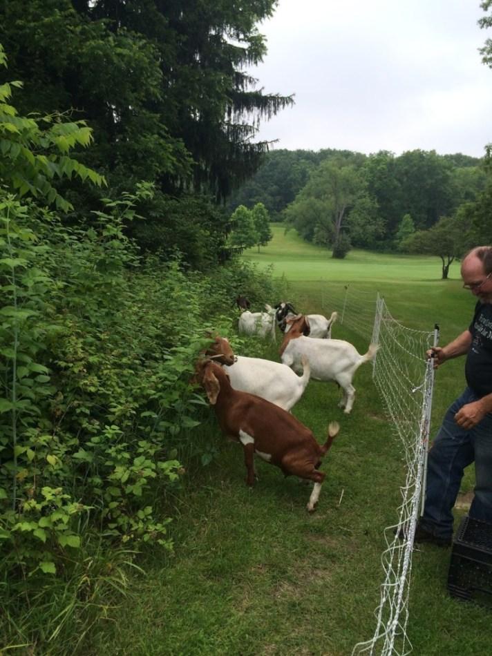 Goats At Radrick Farms Golf Course