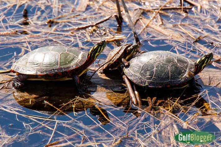 Golf Course Turtles