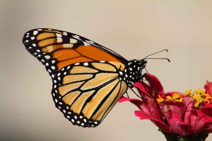 female monarch butterfly perching on red petal flower