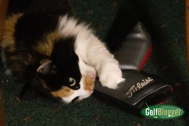 My calico cat, Miss Ashley, somehow acquired one of my Titleist putter covers and has decided that it is a plaything.