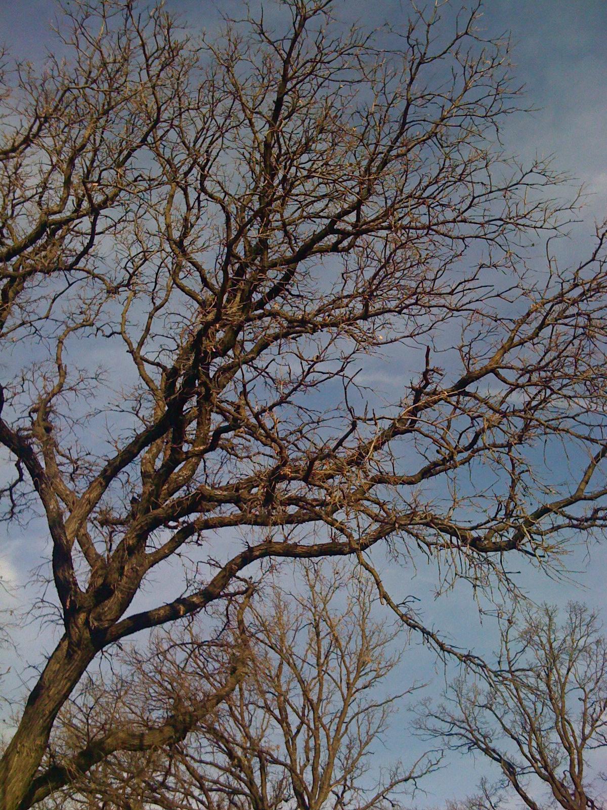 Mighty Oak of Wakonda