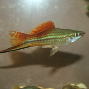 Male Blushing Swordtail
