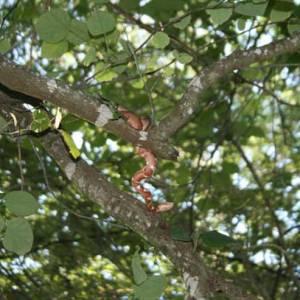 Copperhead in Tree