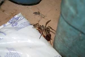 Wolf Spider and Cockroach