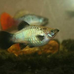 Blue Opal Wag Maculatus Female