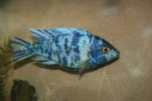 Young Male Blue OB Peacock Cichlid