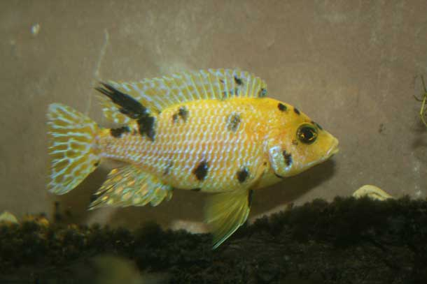Young Male Gold OB Peacock Cichlid