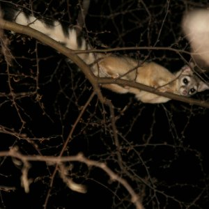 Photo of a ringtail in a tree.