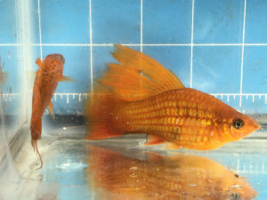 Photo of a female hybrid of Sunset Hifin Variatus and Red Swordtail.