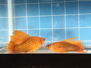 Photo of a female hybrid of Sunset Hifin Variatus and Red Swordtail and her son or nephew from mating her to a Blushing Swordtail and Xiphophorus alvarezi.