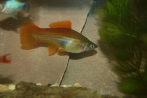 Photo of a female blushing swordtail, similar absent the orange color, to a green swordtail