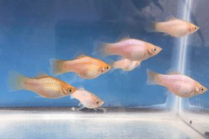 Photo of a group of Blue Opal Maculatus showing two color variations.