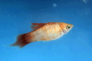 Photo of a young male Hifin Plumetail Blue Opal Maculatus with poor coloration.