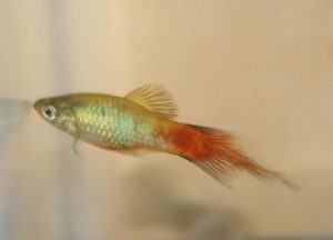 Photo of an F1 offspring from a cross of a Redwag Maculatus to a nondescript plumetail platy.