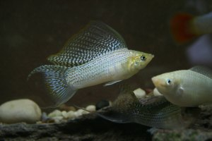 Fish Breeding, Introducing Recessive Gene
