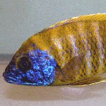 Menu-African-Cichlid
